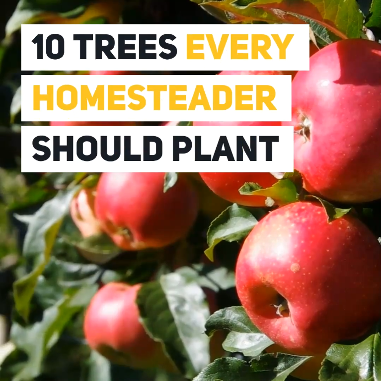 10 Trees Every Homesteader Should Plant (And Why) is part of Fruit tree garden, Tree, Plants, Backyard vegetable gardens, Garden layout vegetable, 10 tree - Most homesteads are surrounded by an abundance of trees growing in the wild  This is great for firewood and shade, but selectively planting certain trees can offer other benefits  These include fruit trees and certain trees that provide natural, medicinal benefits