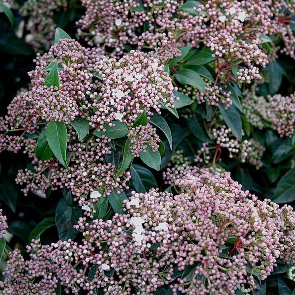 Viburnum tinus 11033 laurustinus viburnum tinus is a popular viburnum tinus is a popular evergreen shrub widely cultivated for its winter flowering habit in regions with mild winters white flowers open from pink buds mightylinksfo
