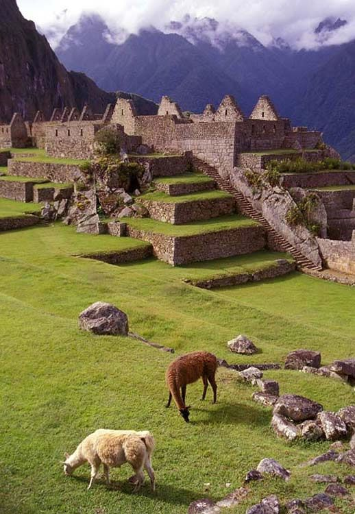 Llamas, Machu Picchu, Peru