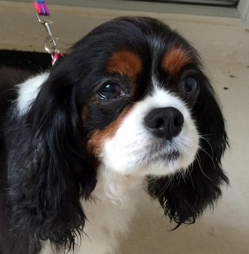 Adopt Duchess Gainesville Fl On Petfinder Cavalier Dog Cavalier King Charles Cavalier King Charles Spaniel