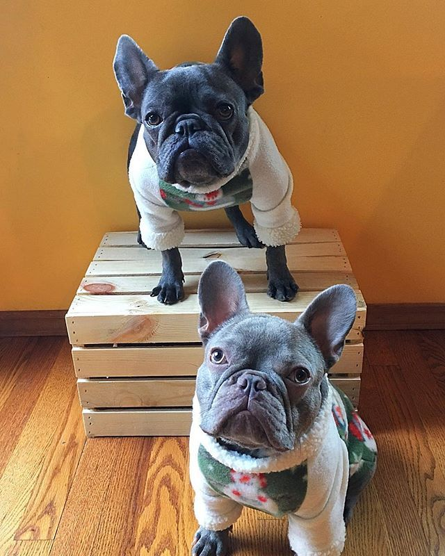 Wishing All Our Furiends A Happy New Year Tankers Lennythelilac Ilovefrenchies Frenchies Lilacfrenchbulldog Bluefrenchbulldog Frenchbully Frenchielov