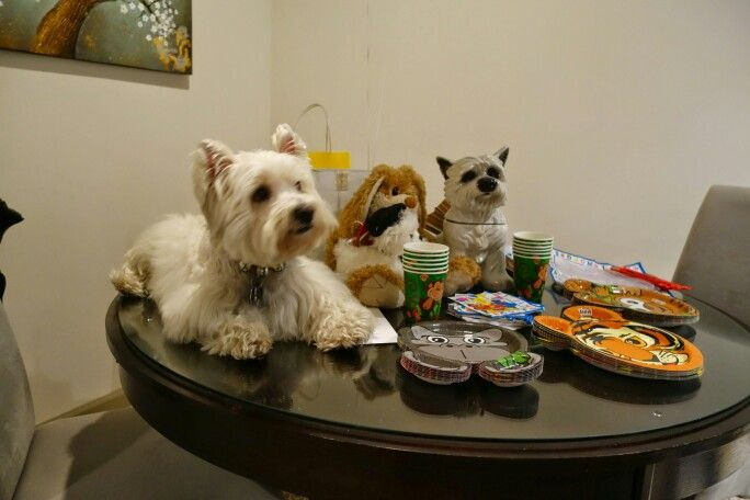 West highland terrier Westie Puppies for sale in British Columbia Canada