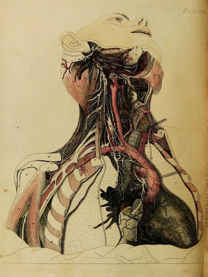 "Plate CXCVI. ""Exhibits the cardiac nerves of the... | nemfrog ..."