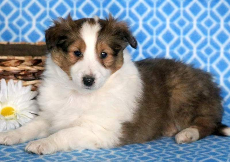 Carson Keystone Puppies Puppies For Sale Health Guaranteed