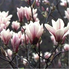 Magnolia Alexandrina Magnolia Home And Garden Garden