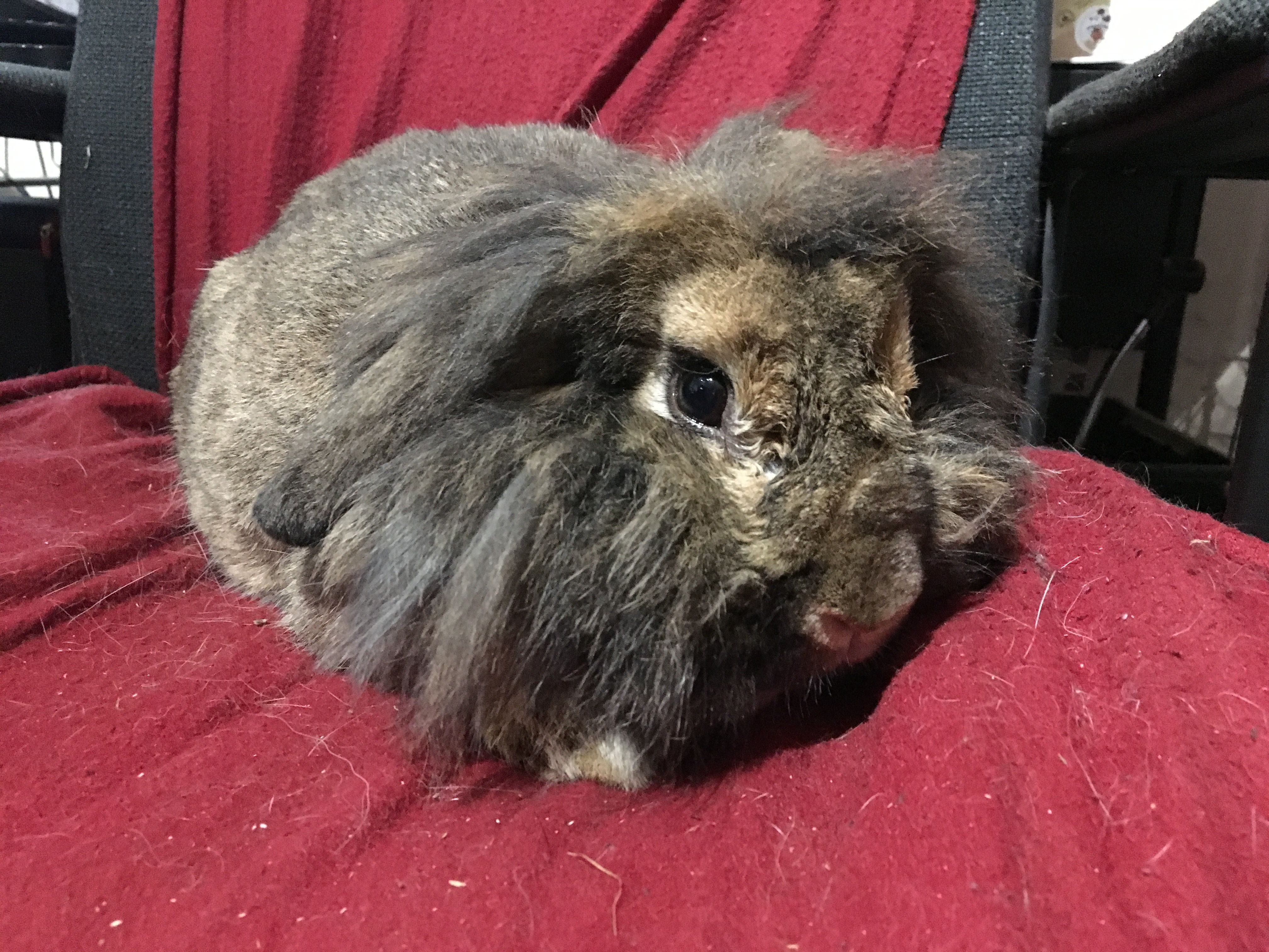 Last Week We Had Three Rabbits Arrive All In Poor Health All Had Been Fed Museli And Carrots Both Rabbits Have Bad Teeth A Pet Hacks Rabbit Diet Cheap Pets