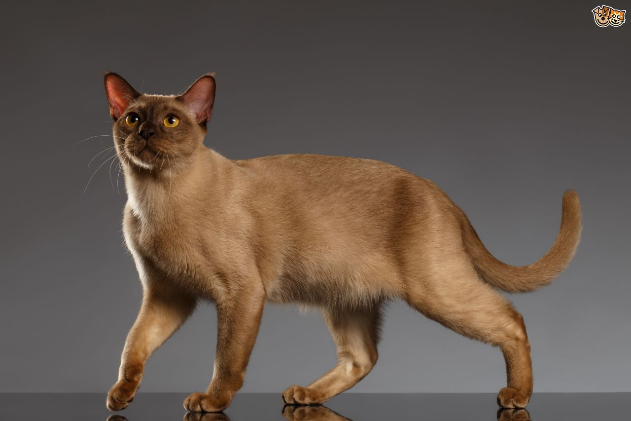 Burmese Cat Breed Cat Breeds Cat Stands Popular Cat Breeds