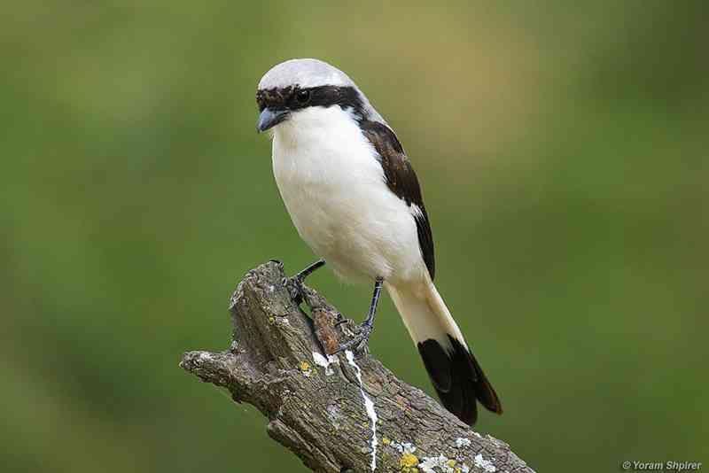 Pin Di 33 Jenis Burung Cendet Di Seluruh Dunia Lengkap Dengan Gambarnya