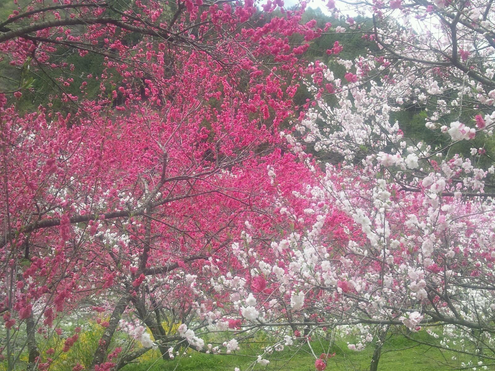 花桃紅白単色
