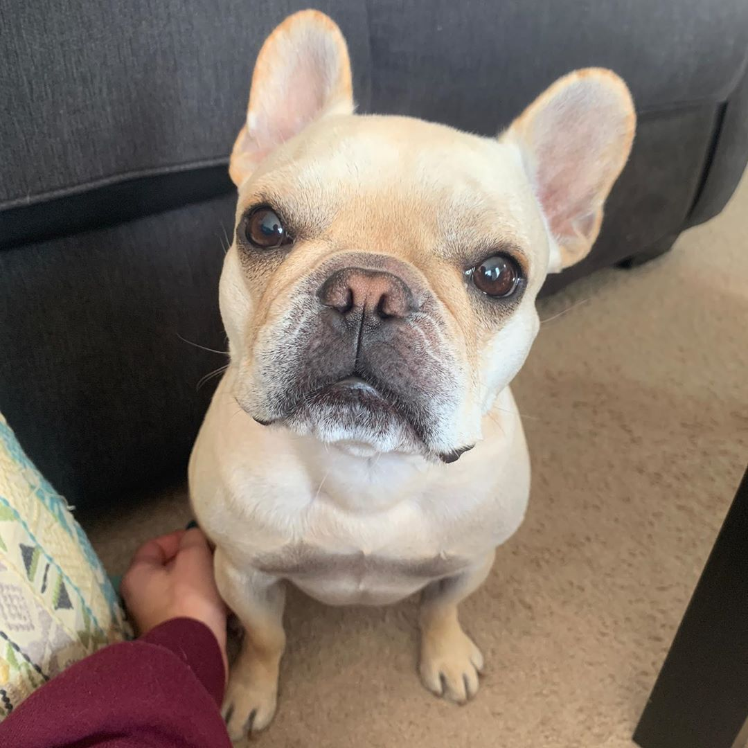 Read 10 French Bulldog Facts That You May Find Fascinating
