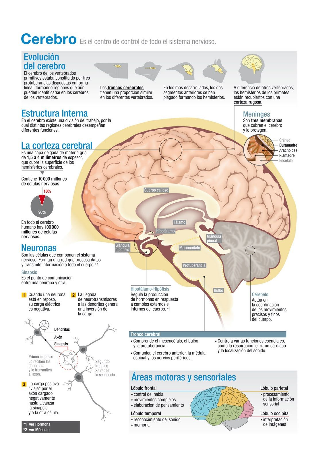 Evoluci n del cerebro infograf a pinned by for Espejo unidireccional psicologia