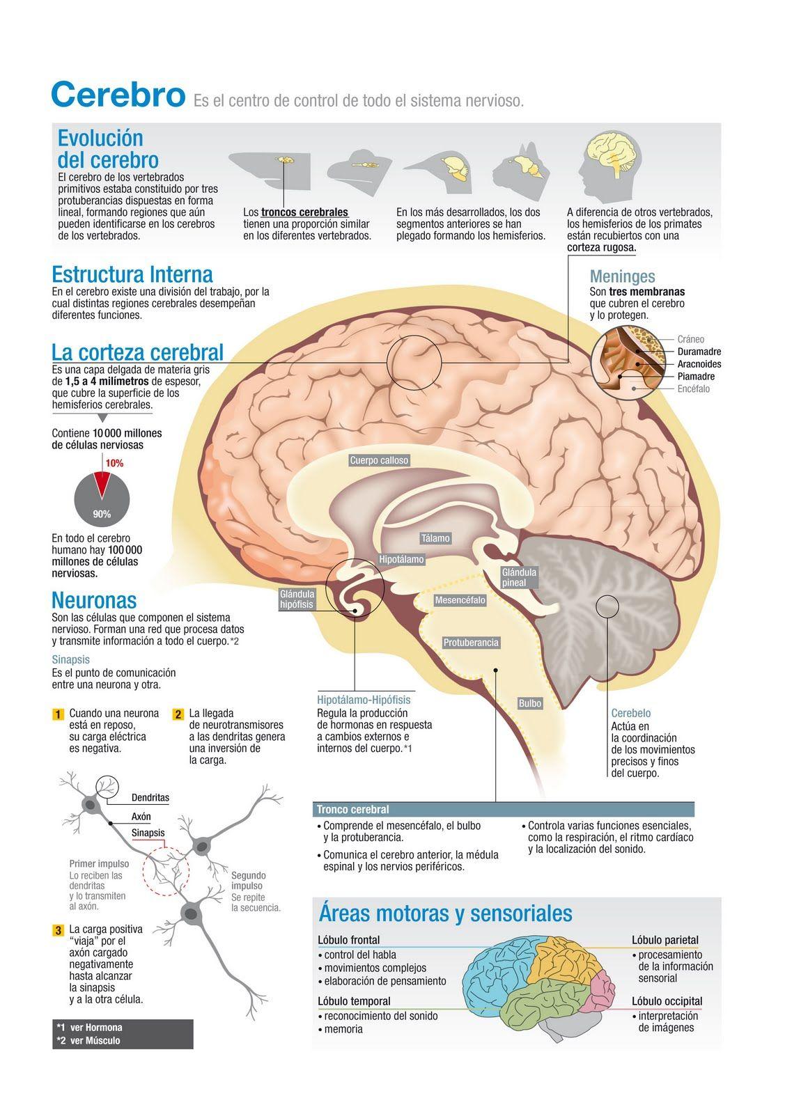Evolución del Cerebro #infografía | Pinned by @argavanconsulting ...