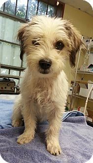 Norcross Ga Cairn Terrier Meet Hope A Puppy For Adoption