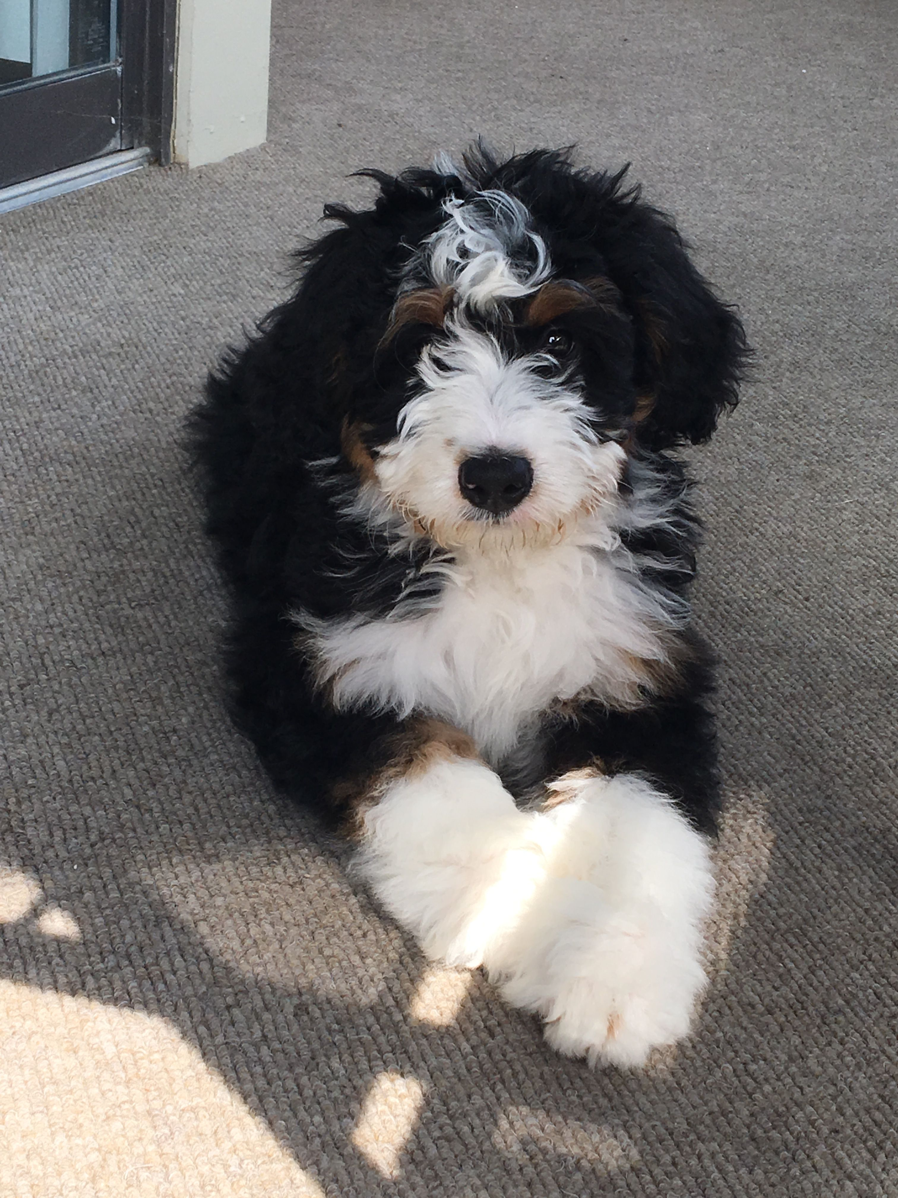 Ig Rory The Bernedoodle Cuddly Animals Cute Dogs Princess Dog
