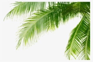 Green Palm Leaves Png Pic Palm Tree Leaves Png