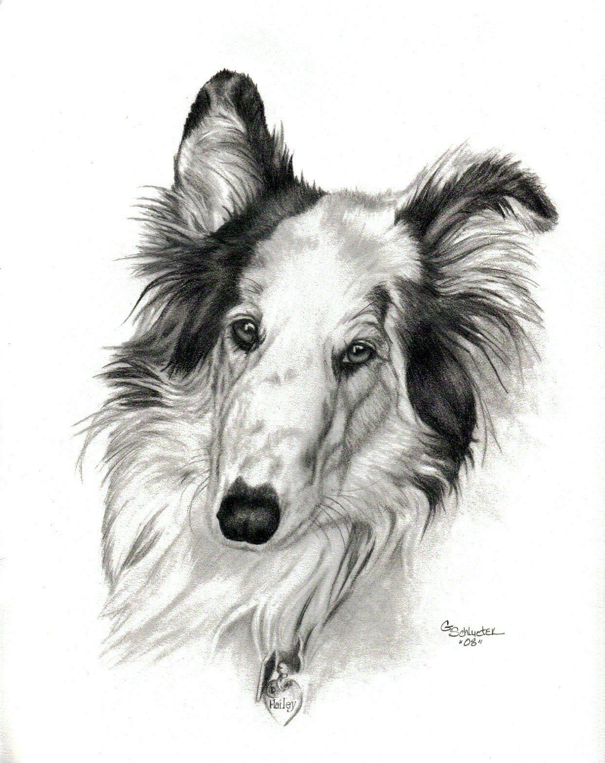 Hailey The Rough Collie Sketch Hand Drawn By Genevieve Schlueter