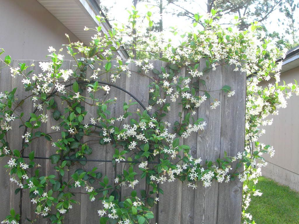 Night blooming jasmine gardening ideas pinterest jasmine night blooming jasmine izmirmasajfo