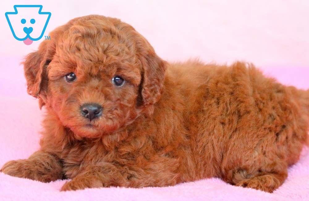Pretty Mini Labradoodle Puppies Puppies Mini Labradoodle