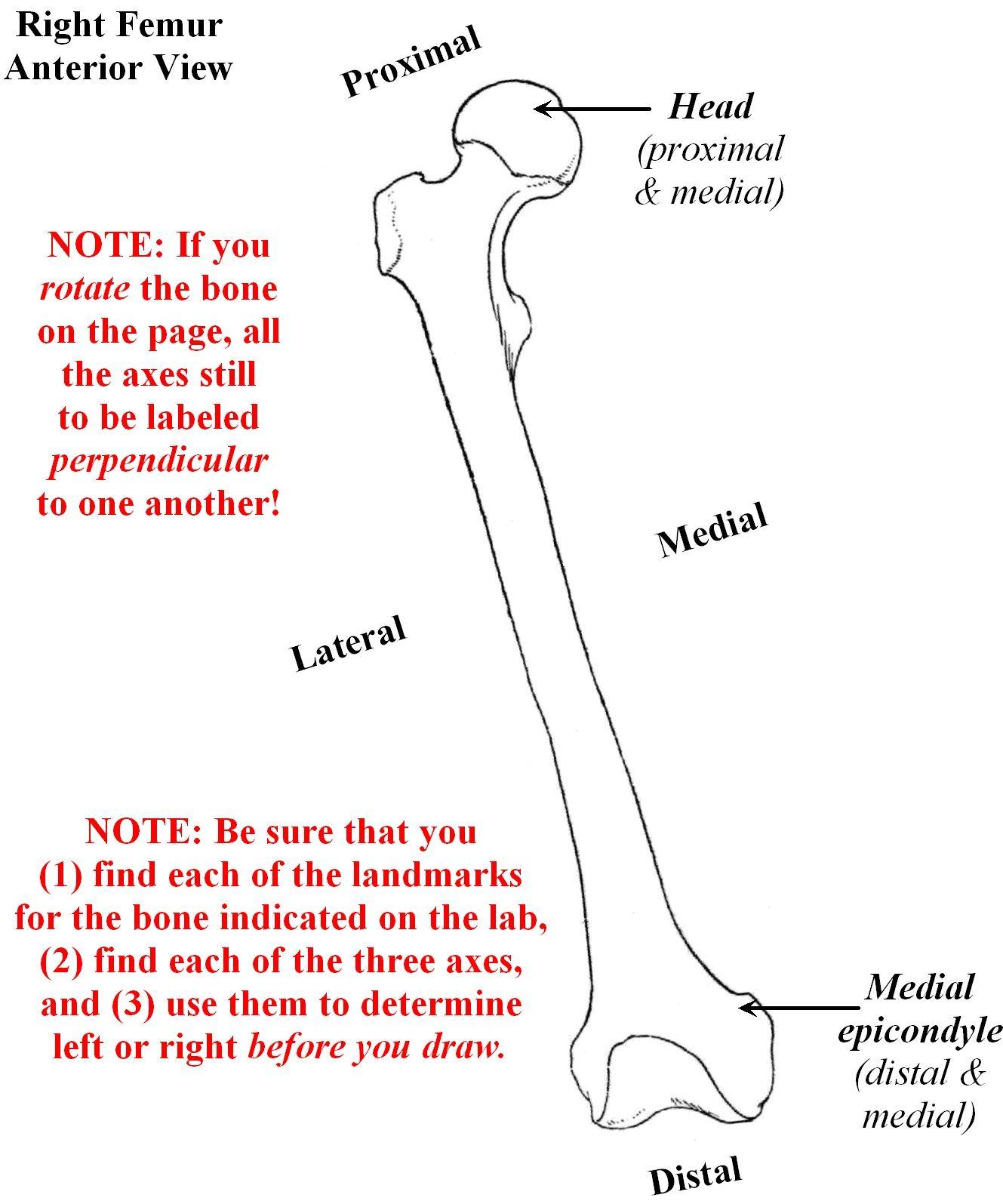 Bone Anatomy Labeling Anatomy Human Body Kinesiology Pinterest