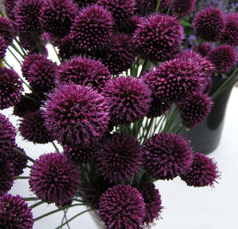 Purple Bullet Allium Drum Stick Flowers Allium Fresh Flowers July Flowers Planting Flowers Flowers