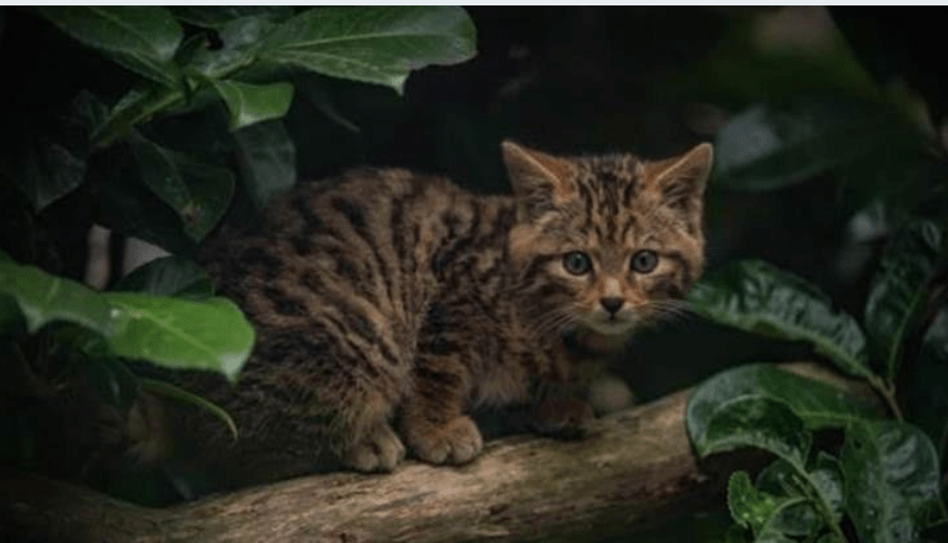 Scottish Wildcat AKA 'Britain's Rarest Mammal' Born At UK