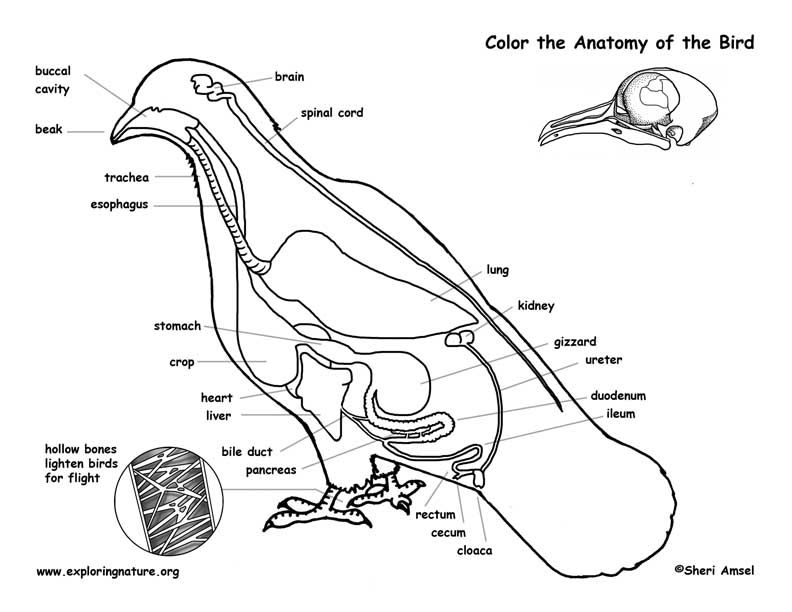 Bird Anatomy Labeling Page Anatomy Coloring Book, Coloring Books, Cat Coloring  Book