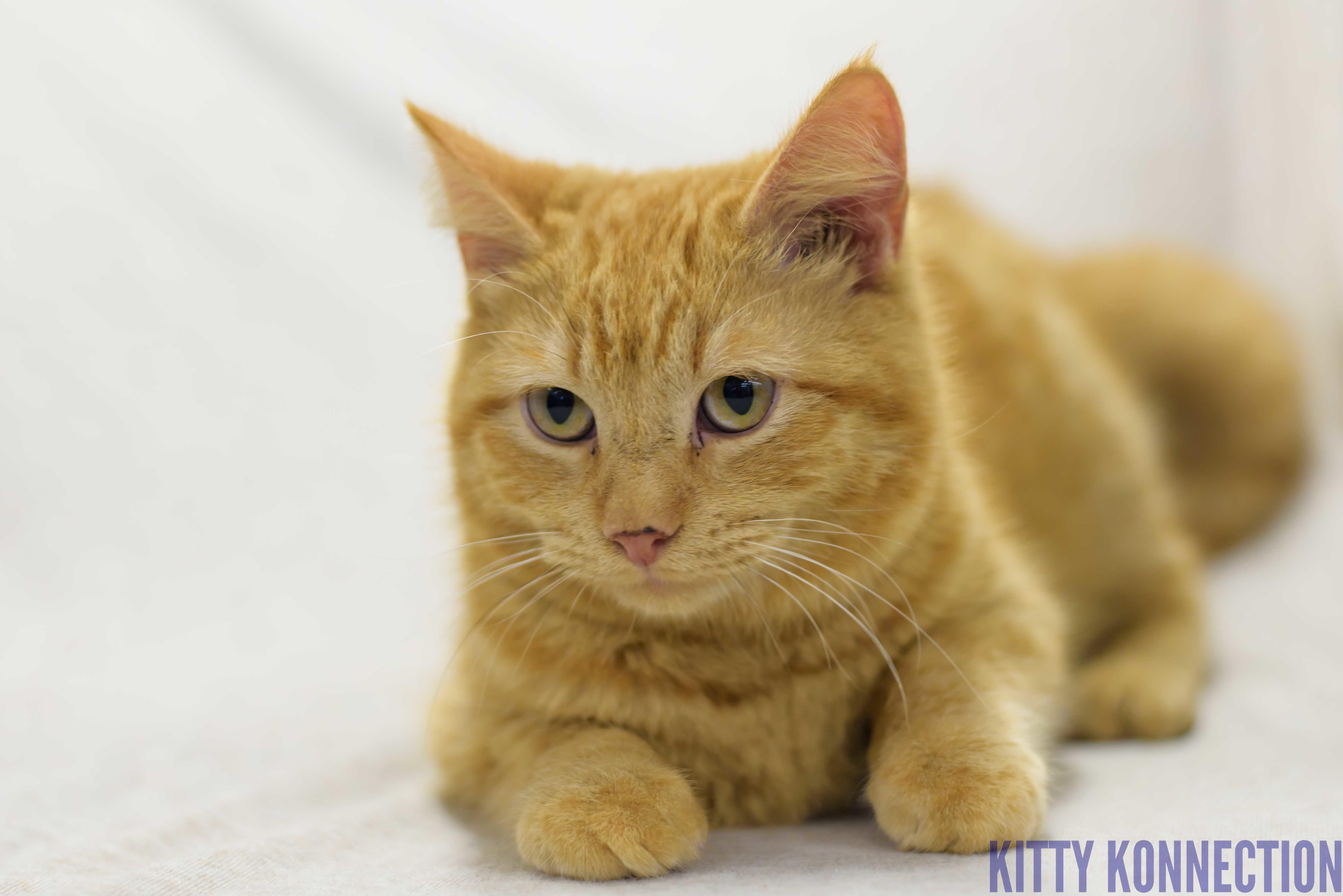 Adopt Amber On Petfinder Cat Adoption Crazy Cats Cats