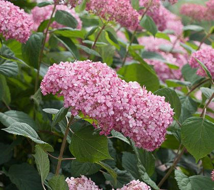Cottage Farms Spirit Ii Everblooming Hydrangea Duo M48972 Qvc Com Hydrangea Growing Plants Farm