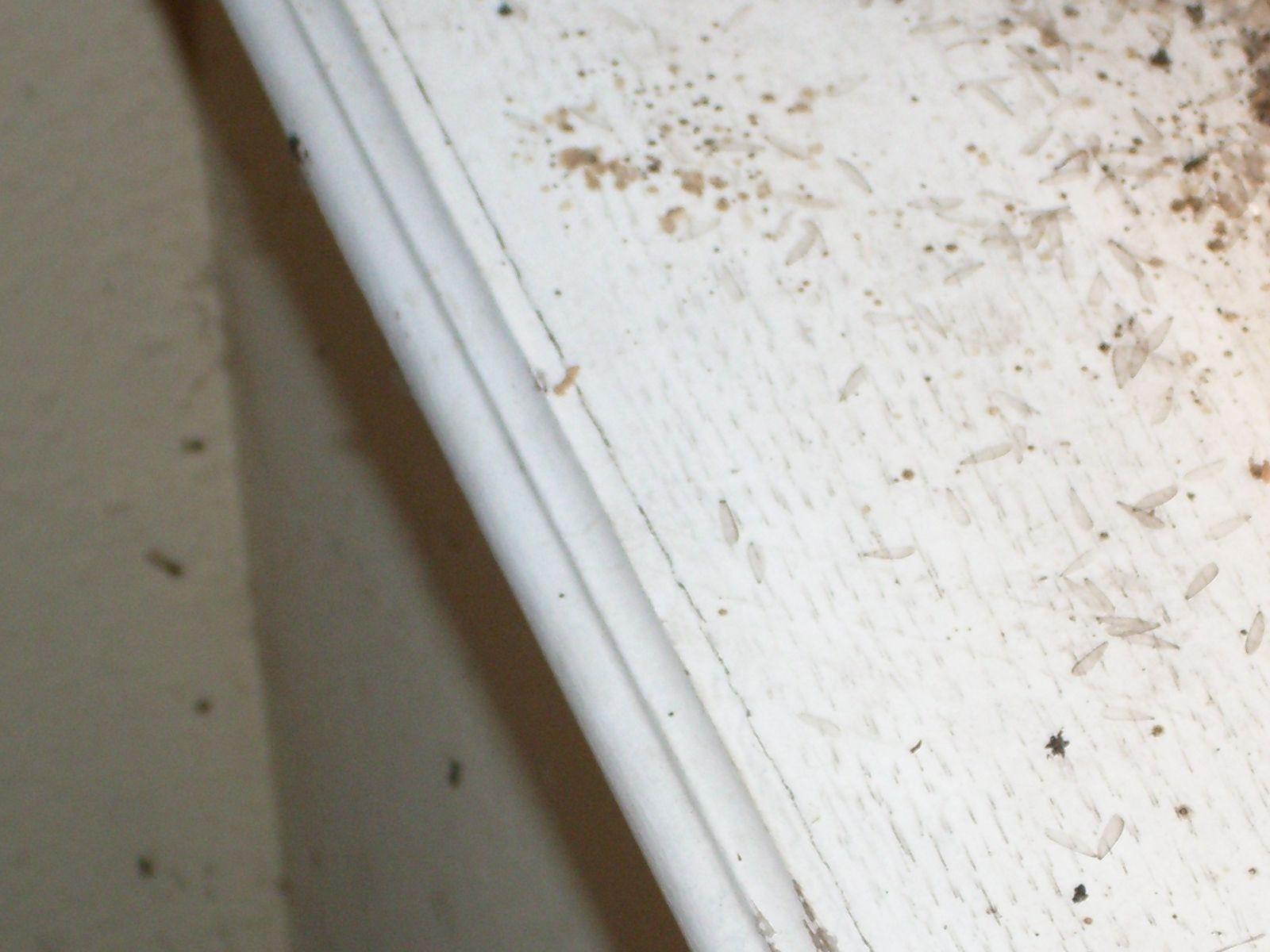 Termite Wings On Window Sill Termite Swarmers Termites Window Sill
