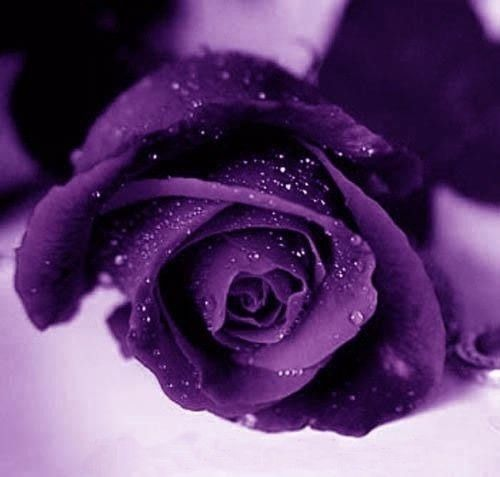 Image result for image of purple roses