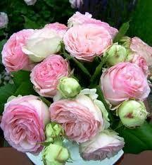 Resultado de imagem para pink climbing rose