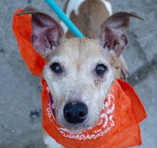 Willigers A1083562 Dog Adoption Pet Adoption My Animal