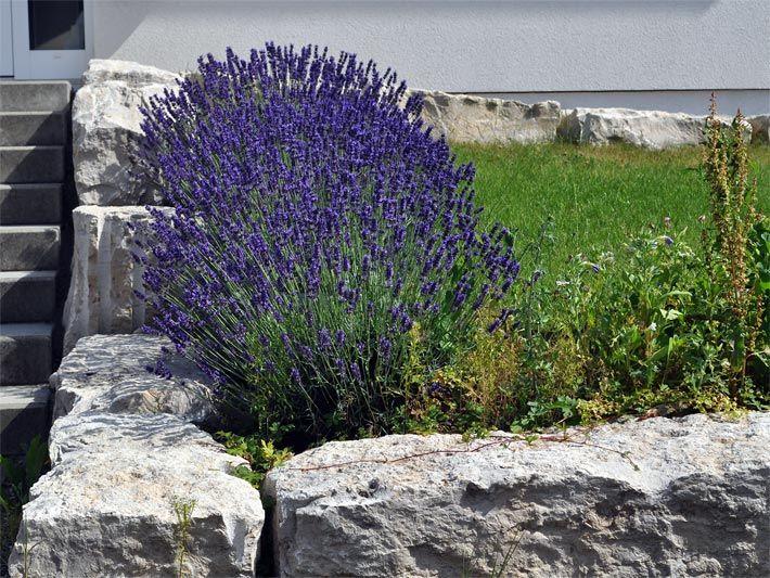 foto von blühendem echtem lavendel in einem vorgarten mit, Garten und bauen