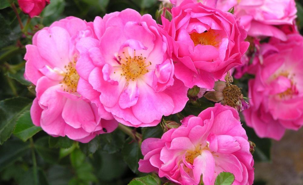 Ein Teppich aus Rosen