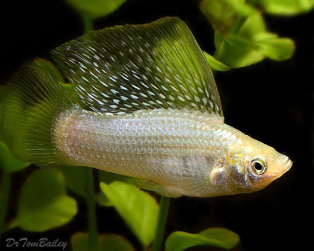 Pin By Alphaadmiral On Wild Animals Domestic Animals Molly Fish Fish Beautiful Fish