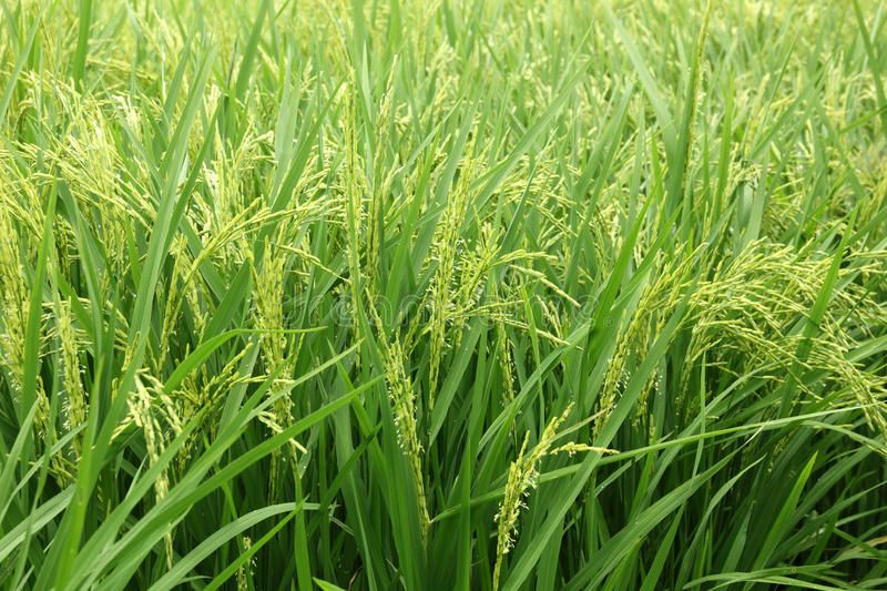 Rice Plant In Rice Field Sponsored Sponsored Sponsored Rice Rice Field Plant Rice Plant Plants Stock Photos