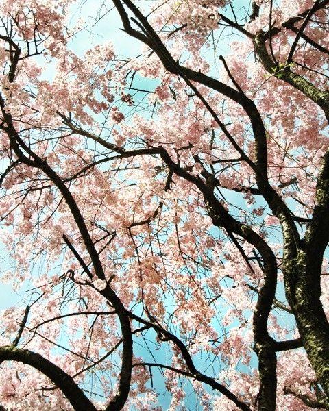 From Seelifeshine On Etsy Cherry Blossom Art Tree Photography Cherry Blossom Print