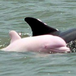 Pink Dolphins may be rare, but they really do exist!    Pink Bottlenose Dolphins are actually albino dolphins, but they are commonly referred to...