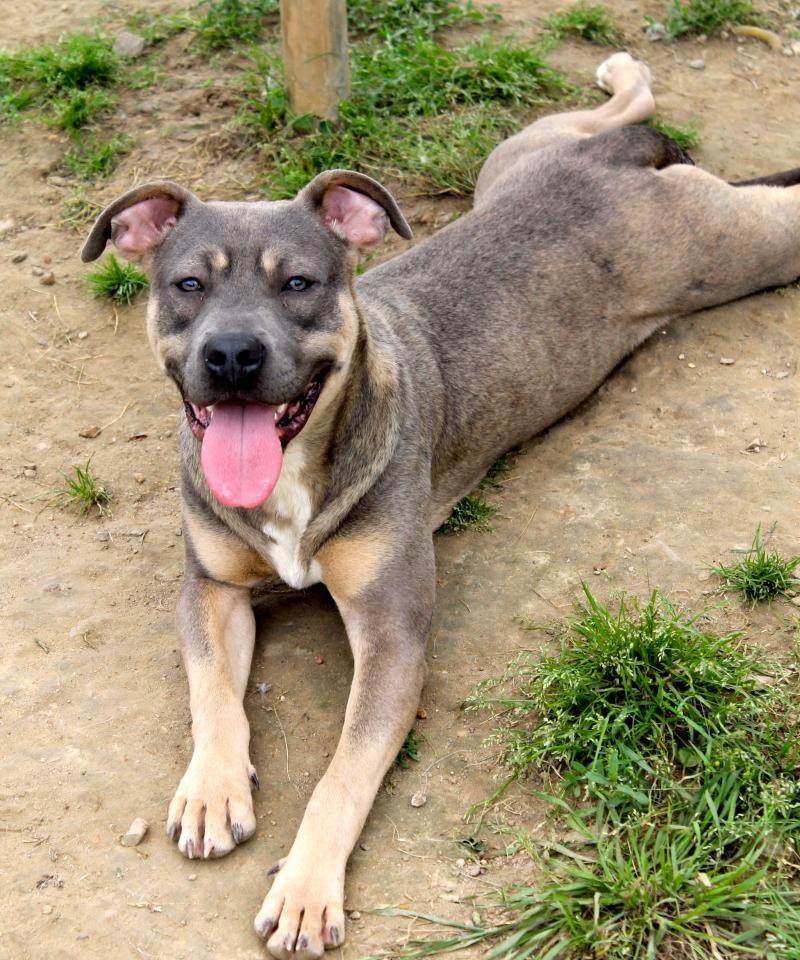 Adopt Enzo on Pets, Pitbull terrier, Pet adoption