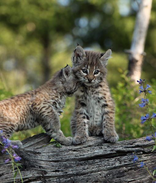 Tale of lynx