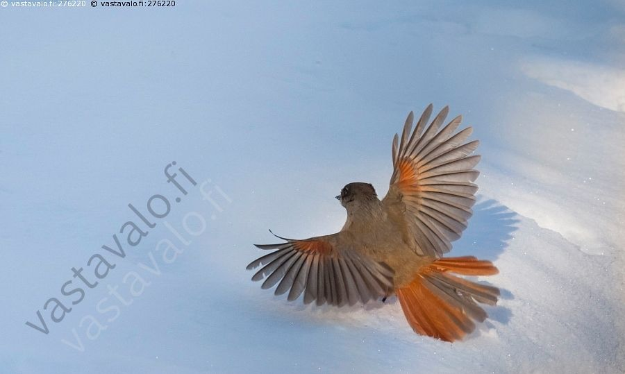 Kuukkeli laskeutuu - kuukkeli talvi lumi lumihanki laskeutuu aurinkoinen talvipäivä lintu varislintu Perisoreus infaustus.Finland