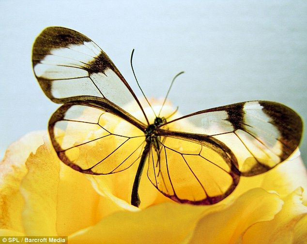 Delicate: A glasswing butterfly, also called a Greta oto, feeding on a rose flower