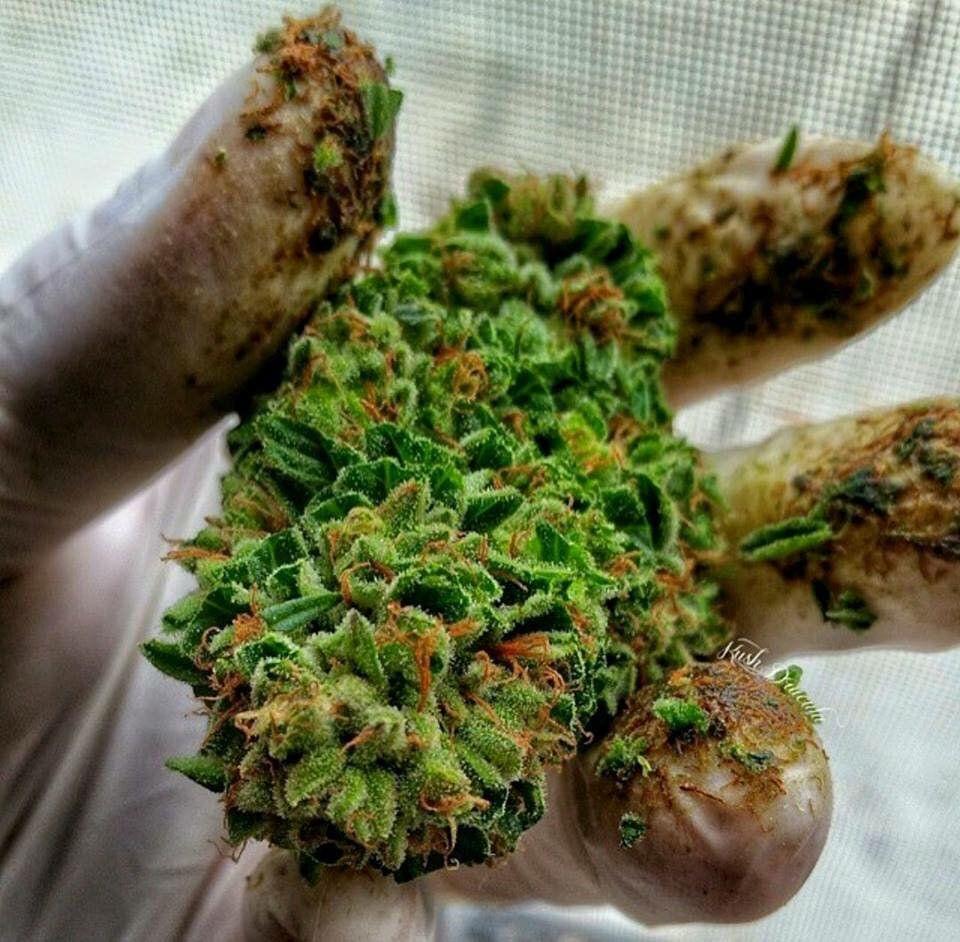 ¡Quién pudiera tener los dedos así en estos momentos! :)   #cannabis #marihuana #resina