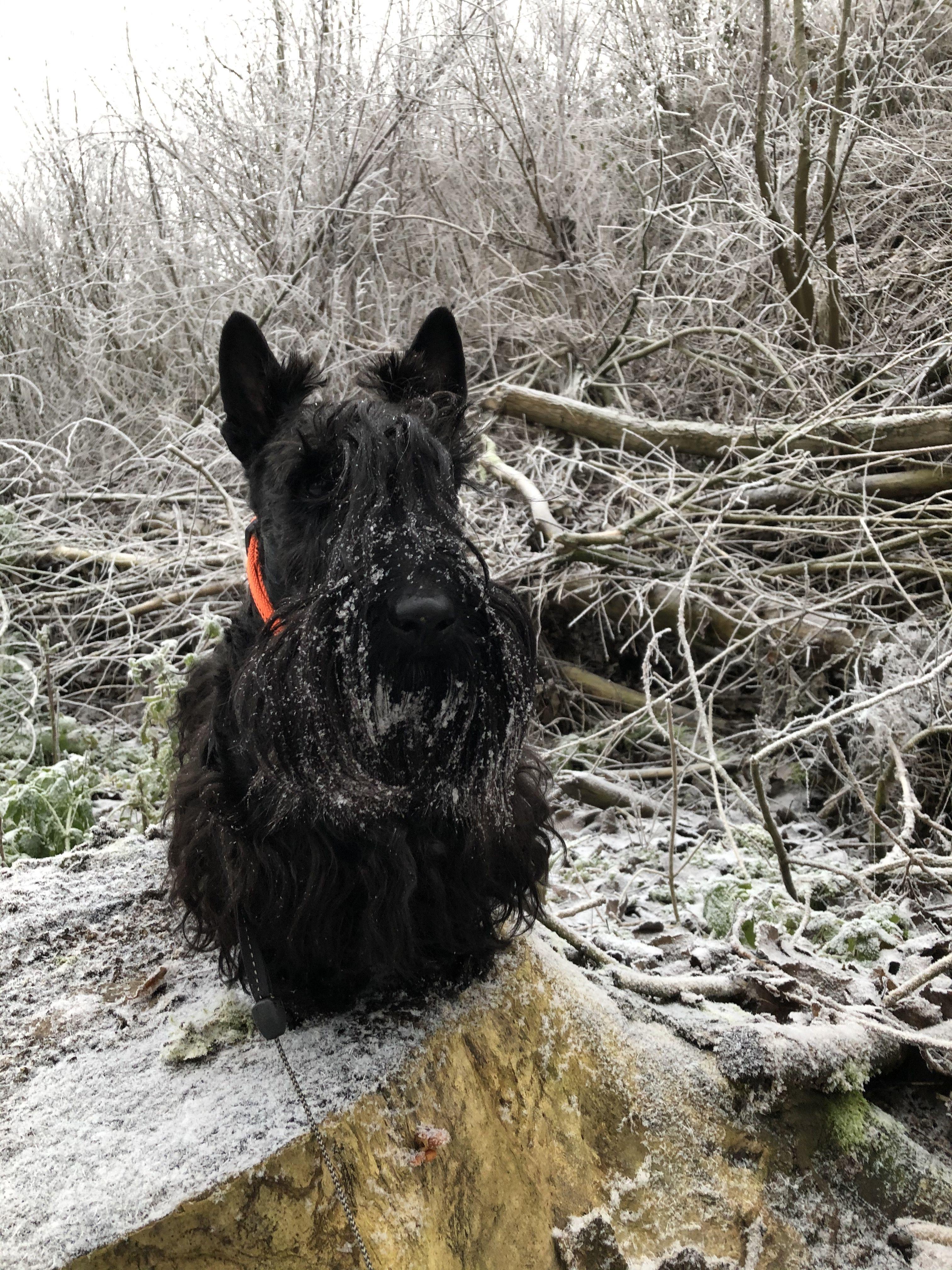 Pin By Lon Fears On Scotties In 2020 Scottie Pets Terrier