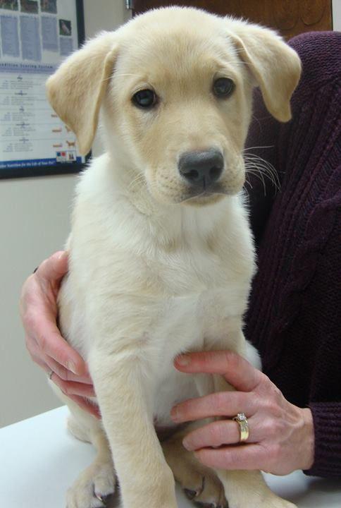 Hank Is A 9 Week Old Labrador Shepherd Mix Labrador Labrador
