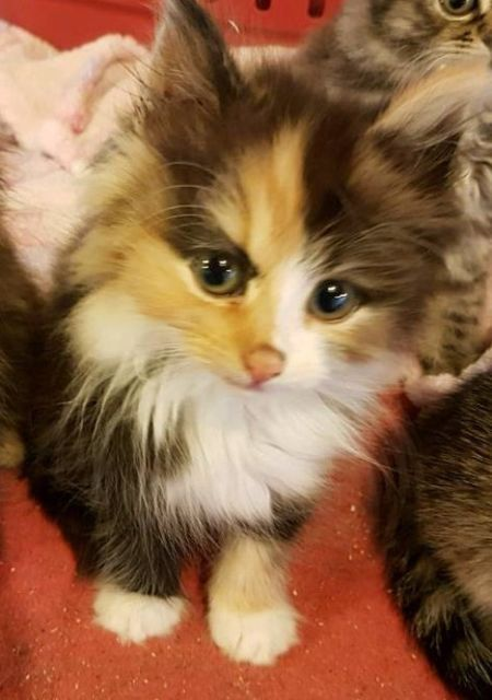 Stunning Longhaired Tortoiseshell Female Kitten Ready To Leave For Her 5 Star Home Now She Is 8 We With Images Cute Cats Kittens Cats