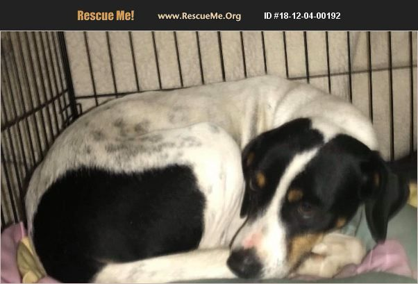 Beagle For Adoption In Olivet Michigan Rescue Me