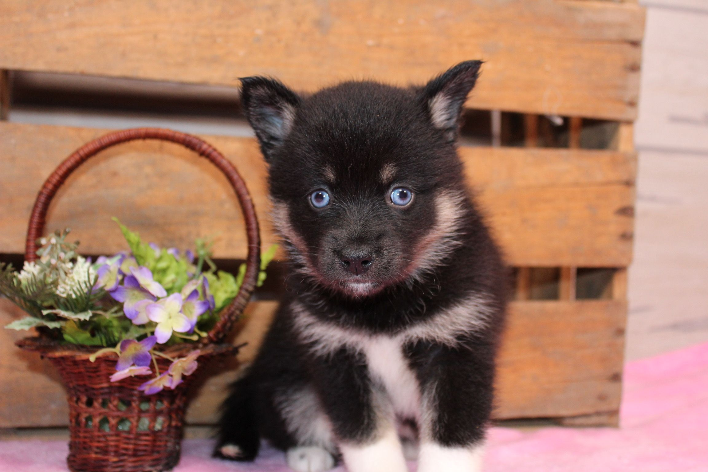 Sakari A Pomsky Puppy For Sale In Nappanee Indiana Find Cute Pomsky Puppies And Responsible Pomsky Breeders At Cute Puppies Images Puppies For Sale Puppies