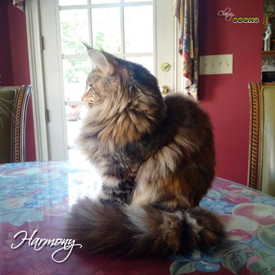 Pin On Classy Coon Maine Coons