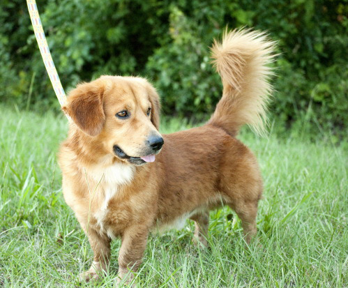 13 Golden Retriever Mixes You Just Have To See